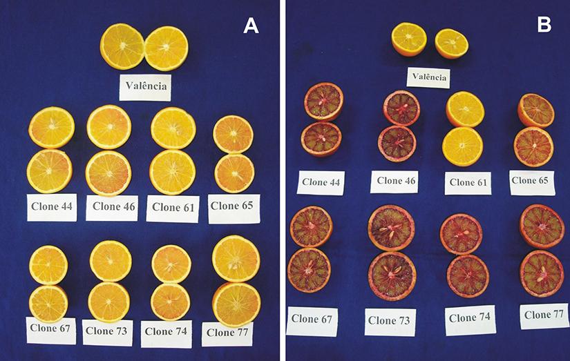 Amostras de frutos de oito variedades de laranjas sanguíneas: (A) no dia da colheita; (B) no 45º dia de armazenamento a 10oC.
