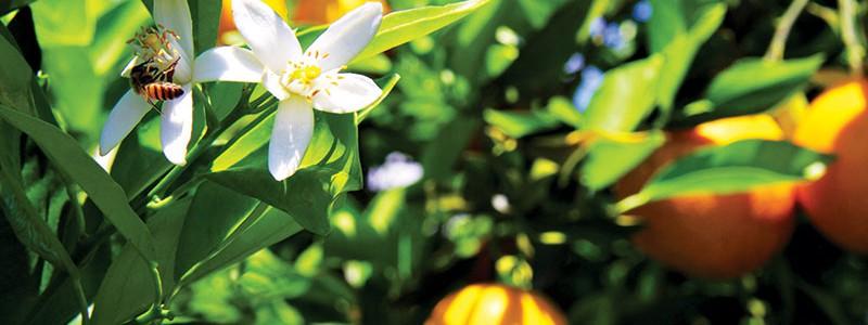A viabilidade de antecipar o florescimento com a irrigação
