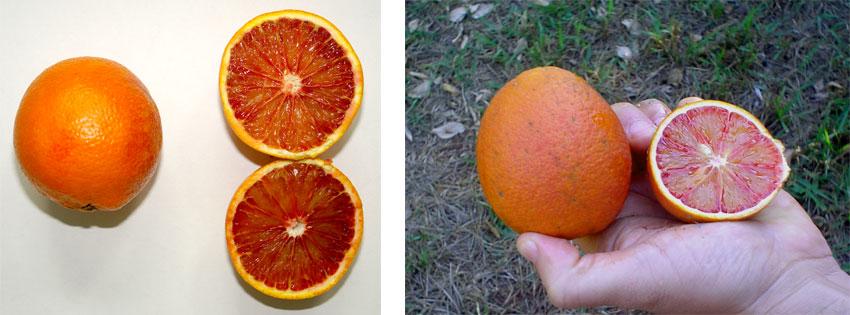 Fruto de laranja da variedade 'Moro', do grupo das variedades sanguíneas