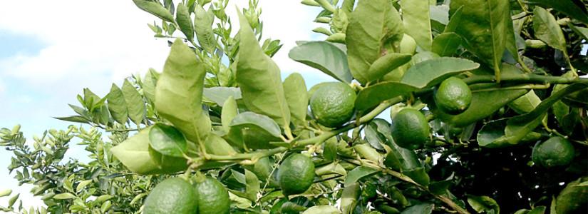 Revitalizar a cadeia do limão, para não perder o negócio