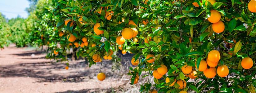 Distribuição e flutuação do Ácaro da  Leprose (Brevipalpus spp) em plantas de citros